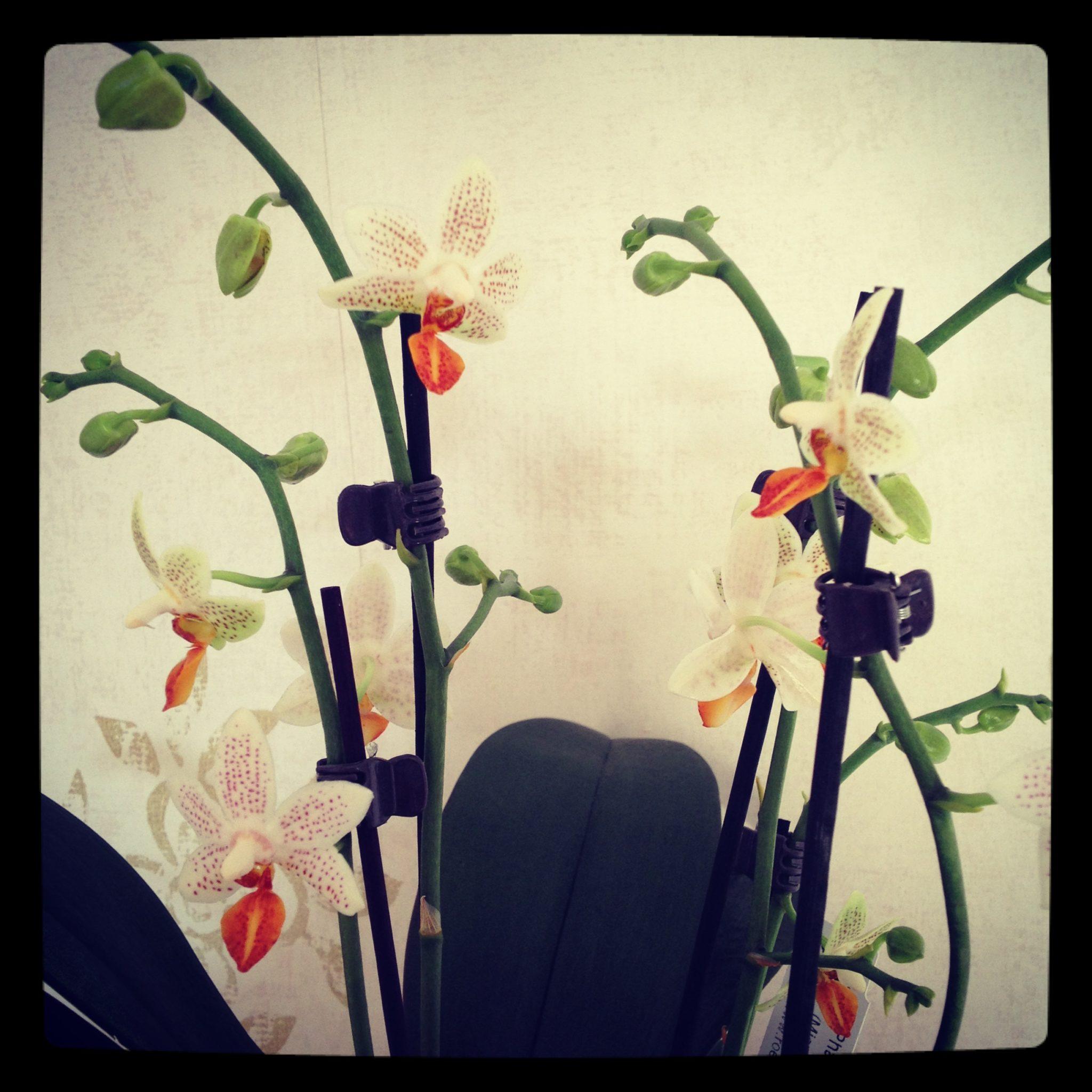 Phalaenopsis Mini-Mark (closer view)/ Pic by kiwikoo